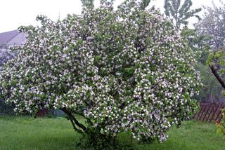 Cognassier en fleurs (Cydonia oblonga)