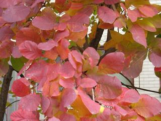 Cotinus coggygria en automne