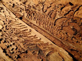 Ecorce creusée de galeries de scolytes