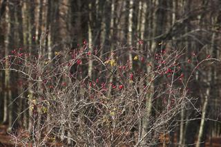 Fruits d'églantier en hiver (cynorrhodons)
