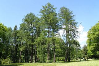 Mélèzes dans un parc (Larix decidua)