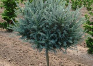 Larix laricinia 'Blue Sparkler' (jeune sujet)