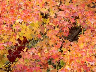 Liquidambar : feuillage d'automne