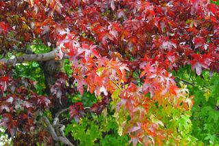 Liquidambar en début d'automne