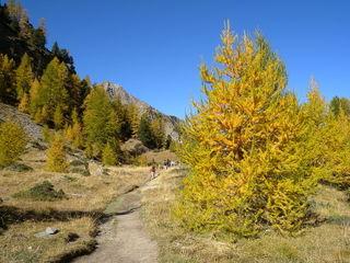Larix decidua (Mélèze), automne