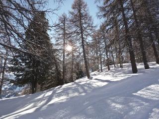 Mélèzes dénudés en hiver