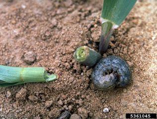 Dégât de chenille de noctuelle sur plant de maïs