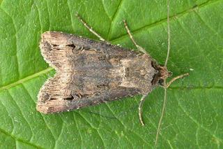 Noctuelle adulte (Agrotis ipsilon)