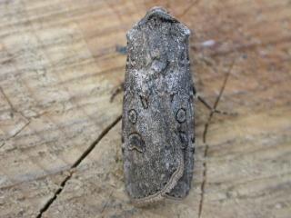 Noctuelle adulte (Agrotis segetum)