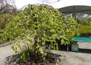 Orme (Ulmus glabra camperdownii)