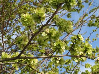 Orme champêtre - Ulmus minor (fruits : disamares)