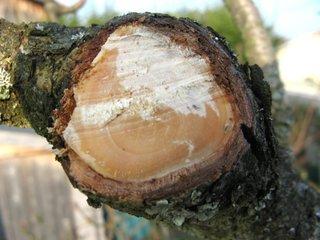 Utilité du mastic cicatrisant et des baumes pour protéger les plaies de taille