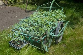 Plants de tomate traités à la bouillie bordelaise