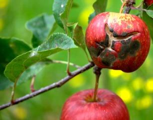 Tavelure et crevasse sur pomme