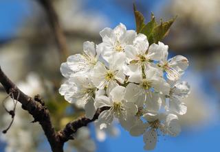 Prunus cerasus - Cerisier en fleurs