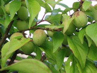 Prunus mume : feuillage et fruits
