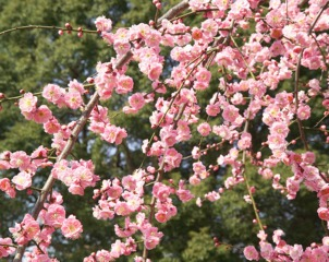 Abricotier du Japon, Prunus mume