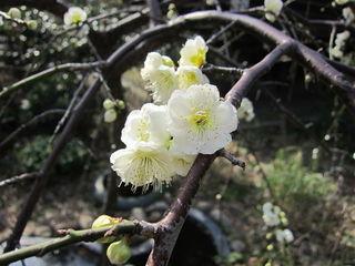 Prunus mume - Abricotier du Japon