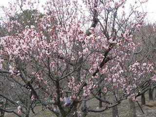 Prunus mume 'Koutoji'