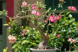 Rose du désert (Adenium obesum)