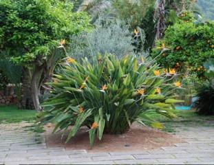 Strelitzia reginae en pleine terre