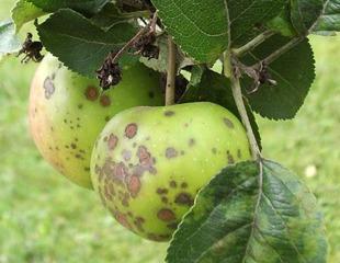 Tavelure sur pomme