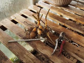 Tubercule de dahlia prêt pour l'hivernage