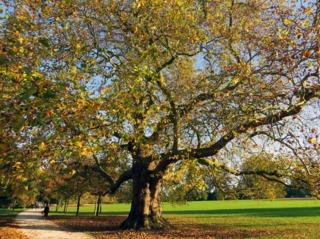 Vieux platane en automne dans un parc