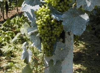 Vigne et raisins traités à la bouillie bordelaise