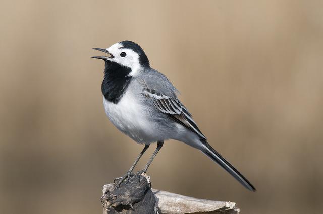 Les oiseaux du jardin savoir les identifier les observer for Oiseau gris et blanc