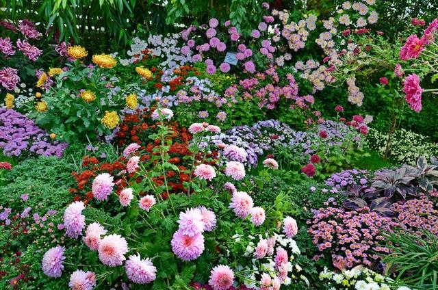 Chrysanthèmes : diversité de formes et de couleurs