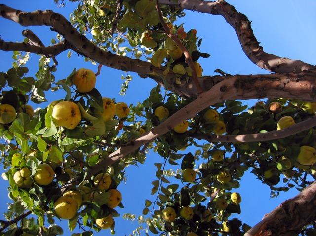 Arbres fruitiers - Eloigner les oiseaux des arbres fruitiers ...