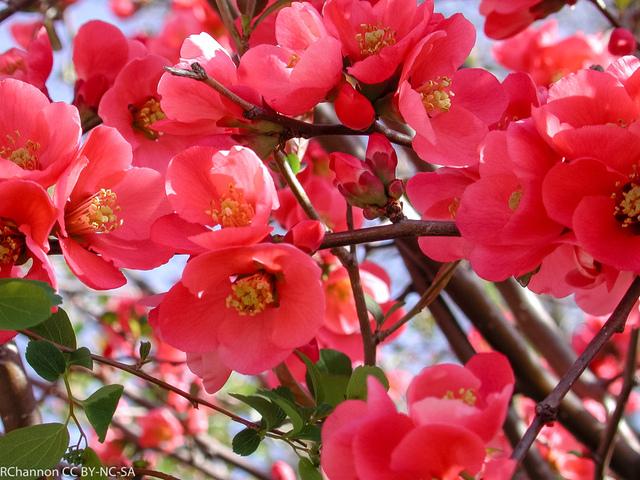 Cognassier du Japon : un arbuste facile, décoratif et défensif