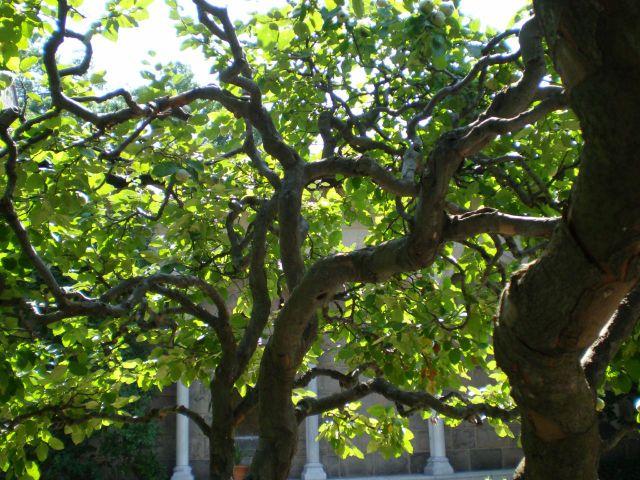 cognassier un arbre oubli pour le jardin. Black Bedroom Furniture Sets. Home Design Ideas