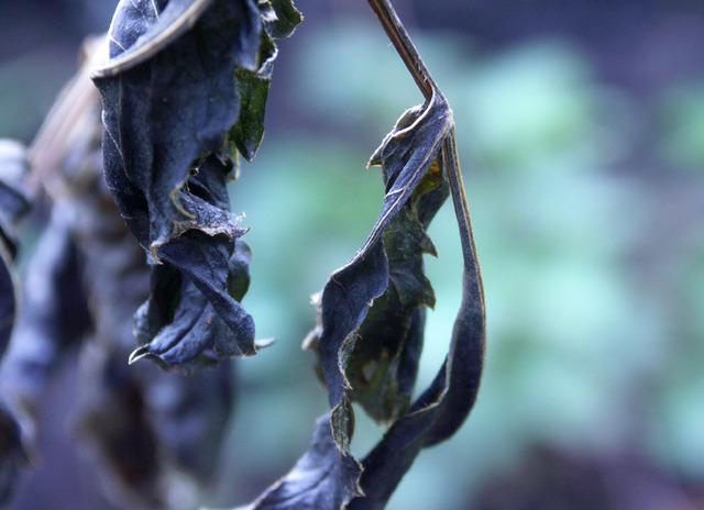Hivernage du dahlia ; les conserver pendant l'hiver