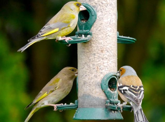 Les oiseaux du jardin savoir les identifier les observer for Oiseaux des jardins