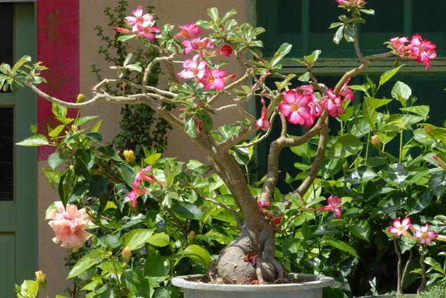 Rose Du Desert Adenium Obesum Culture Et Entretien