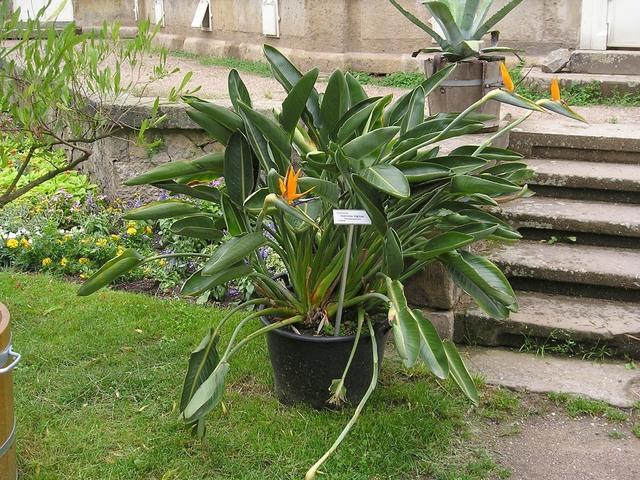 Strelitzia oiseau de paradis culture entretien et vari t s for Entretien jardin tunisie