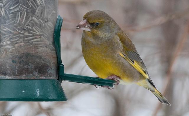 Les oiseaux du jardin savoir les identifier les observer for Oiseau marron