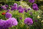 Des bulbes originaux pour un printemps fleuri