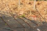 Boutures de bois sec en hiver : comment faire ?