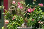 Rose du désert, Adenium obesum
