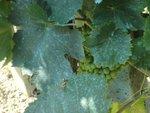 Bouillie bordelaise : gare à la toxicité du cuivre pour les écosystèmes