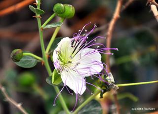 Capparis spinosa - Câprier (fleur)