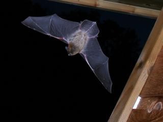 Chauve-souris en vol (pipistrelle)