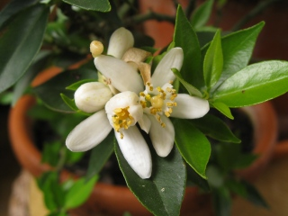 Fleurs de clémentinier (Citrus reticulata)