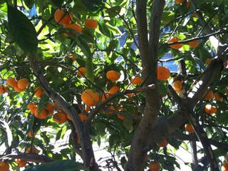 Citrus satsuma - Mandarinier
