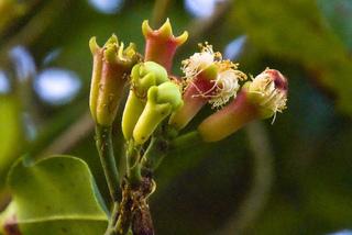 Floraison de Syzygium aromaticum - Différents stades