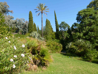 Mimosas sauvage tout - Domaine du rayol le jardin des mediterranees ...