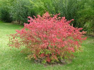 Euonymus alatus - Fusain caduc en automne